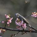 写真: 180227-4オオカンザクラの蜜を吸うヒヨドリ