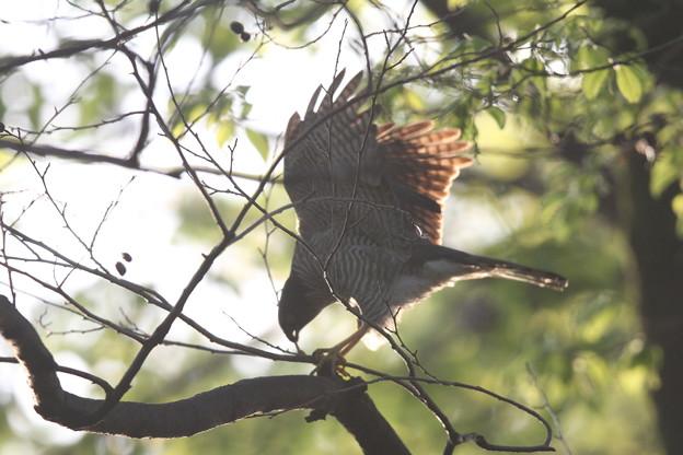 私の野鳥図鑑(蔵出し)・120424ツミの巣作り・枝折り