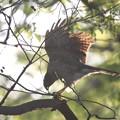 写真: 私の野鳥図鑑(蔵出し)・120424ツミの巣作り・枝折り