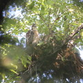 写真: 私の野鳥図鑑(蔵出し)・120704ツミの子育て・雛二羽