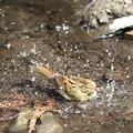 写真: 180227-15アオジ♀の水浴び