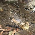 写真: 180227-16アオジ♀の水浴び