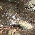 180227-18アオジ♀の水浴び