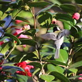 写真: 180317-3ツバキの花びらでホバリングするシジュウカラ