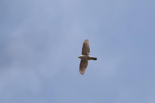 180324-3オオタカ・幼鳥?