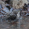 私の野鳥図鑑(蔵出し)・170104ツミ♀の水浴び