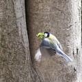 写真: 180326-3巣に苔を運ぶシジュウカラ