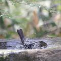 写真: 180327-2ヒヨドリの水浴び