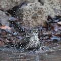 写真: 私の野鳥図鑑(蔵出し)・170104ツミ♀の水浴び