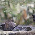 写真: 180327-5ヒヨドリの水浴び