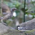 写真: 180327-8シジュウカラとヒヨドリ