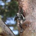 写真: 180329-3ムクドリの巣材運び(3/3)