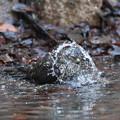 私の野鳥図鑑(蔵出し)・170104-BQ2A6901ツミの水浴び