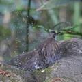 写真: 180331-3ヒヨドリの水浴び