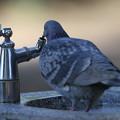 写真: 私の野鳥図鑑(蔵出し)・120220-IMG_6318水道の水を飲むドバト