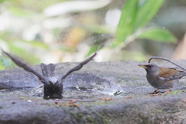 180401-10露天風呂・ヒヨドリ(左)とシロハラ♂