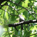 180504-19エナガの幼鳥