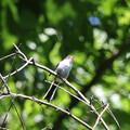 180504-20エナガの幼鳥