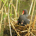 写真: 私の野鳥図鑑(蔵出し)・060517バンの親子