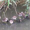 写真: 私の野鳥図鑑(蔵出し)・060623バンの幼鳥