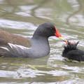 写真: 私の野鳥図鑑(蔵出し)・080412給餌