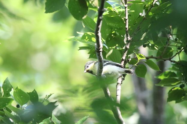 180511-4シジュウカラの幼鳥