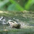 写真: 180511-7オオルリ♀の水浴び