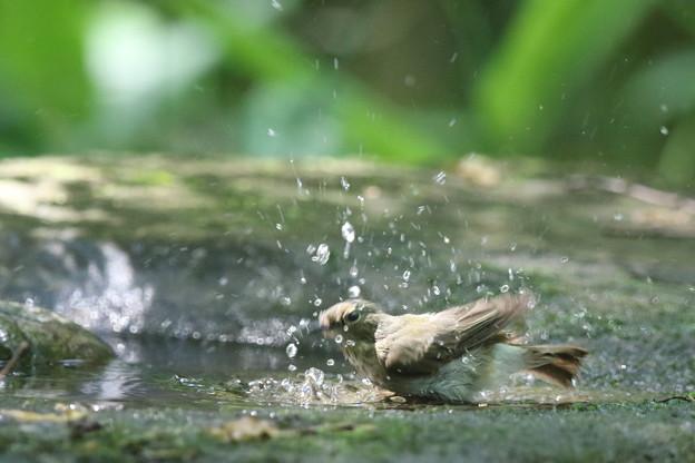 180511-9オオルリ♀の水浴び