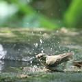 写真: 180511-9オオルリ♀の水浴び
