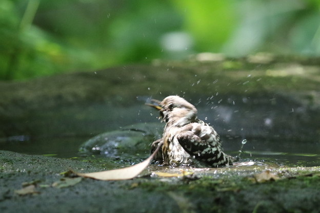 180511-16コゲラの水浴び