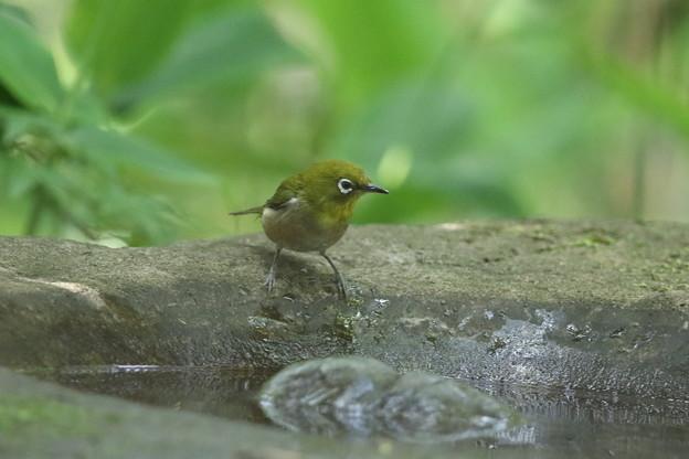 180512-2メジロの水浴び