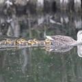 写真: 180515-4カルガモと7羽の幼鳥