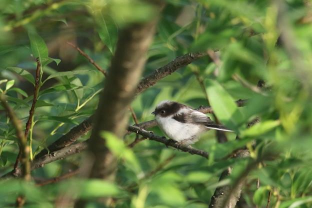 写真: 180515-6エナガの幼鳥