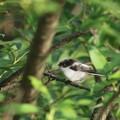 180515-6エナガの幼鳥