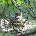 180527-2新しく観察対象にしたカイツブリの巣