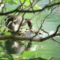 180527-3卵の状況を調べるカイツブリ