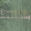180529-2カルガモの母親と7羽の幼鳥
