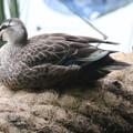 180529-4くつろぐカルガモの母親と幼鳥