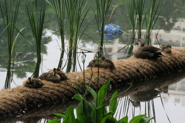 180529-5くつろぐカルガモの母親と7羽の幼鳥
