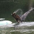 写真: 180602-2カワウが噴水台に上がるまで(1/4)