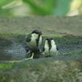 180604-5二羽のシジュウカラの幼鳥
