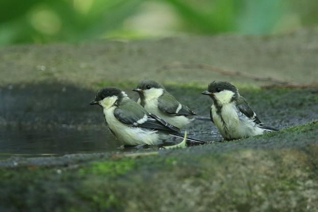 写真: 180604-10三羽のシジュウカラの幼鳥