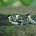 180604-10三羽のシジュウカラの幼鳥