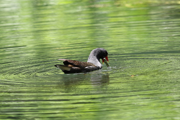 写真: 私の野鳥図鑑(蔵出し)・160610-21・何かを捕まえたバン