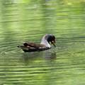 私の野鳥図鑑(蔵出し)・160610-21・何かを捕まえたバン