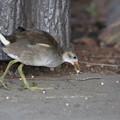 写真: 私の野鳥図鑑(蔵出し)・160724-2バンの幼鳥