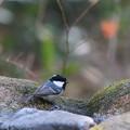 私の野鳥図鑑(蔵出し)・101226-2ヒガラ