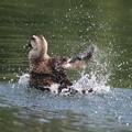 Photos: 180607-14カルガモの水浴び