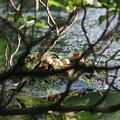 写真: 180608-1この日の卵の状態・カイツブリ