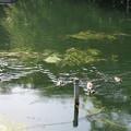 180608-6カルガモの母親と7羽の幼鳥